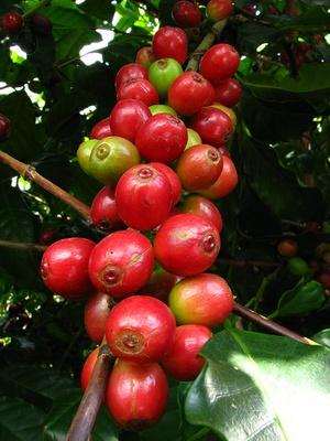 Rote Kaffeekirschen am Strauch